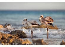 Flamingo_on_oceans_edge_IMG_3103.jpg